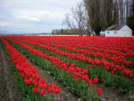 Skagit Tulip Fields photo by Tricia Hitchcock