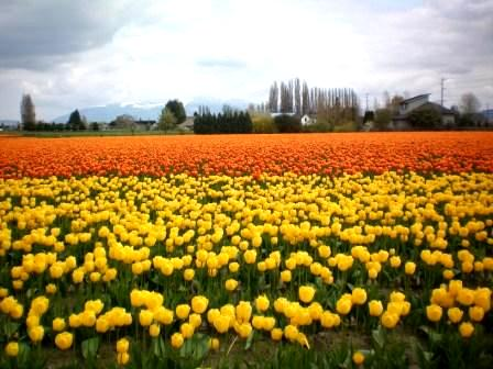 Skagit Tulip Fields --photo by Tricia Hitchcock