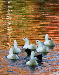 _wsb_442x347_Ducks+in+a+pond+2
