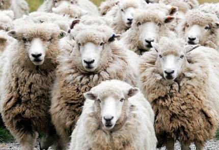 we all  like sheep  have gone