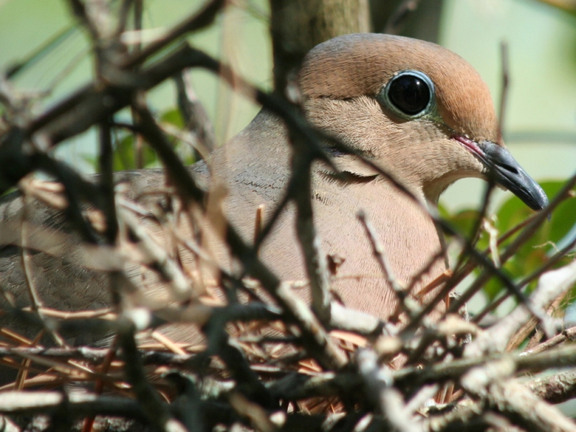mourning_dove_birds_eye_view