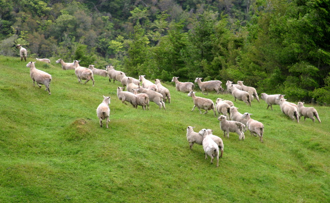 all we like sheep have gone