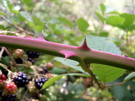 BlackberryThorns