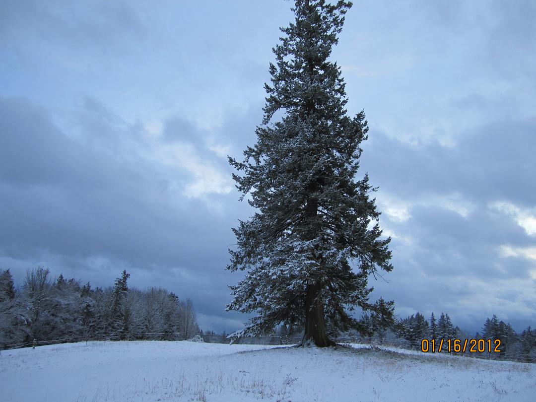 winterfir