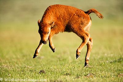 Buffalo-calf