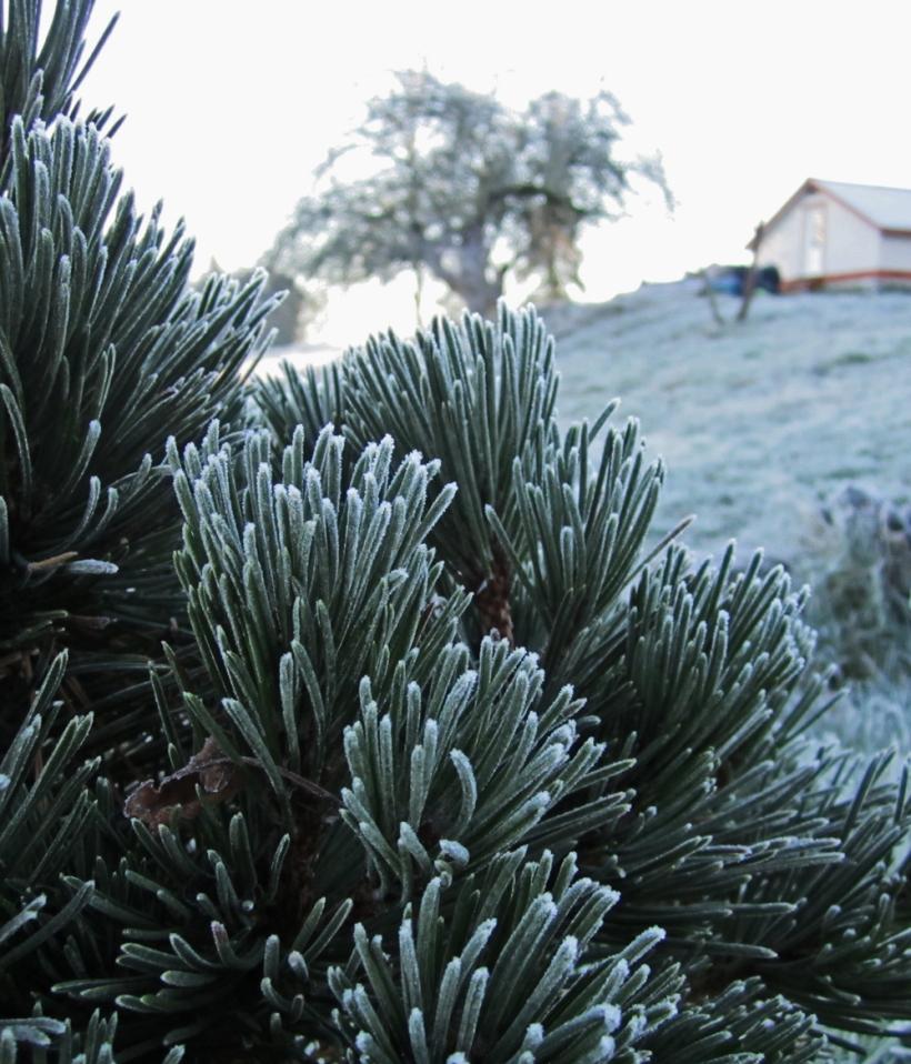 frostfir