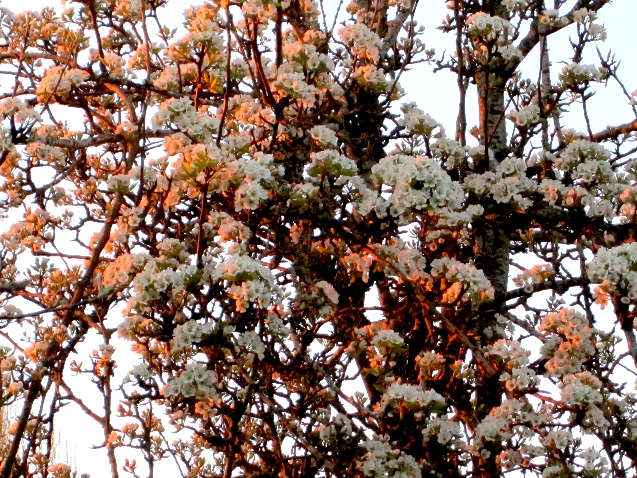pearblossoms