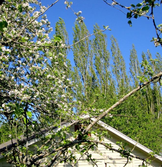 orchardpoplar