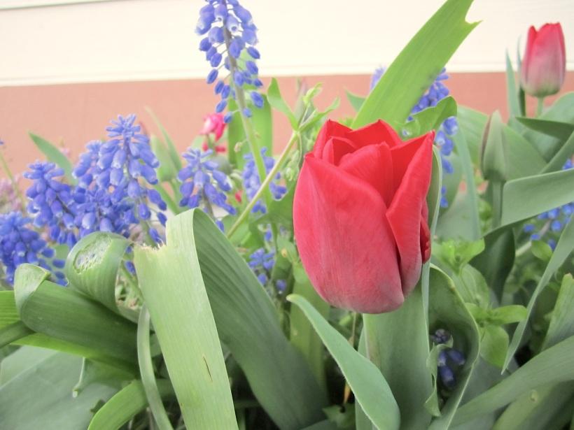 tulipapril
