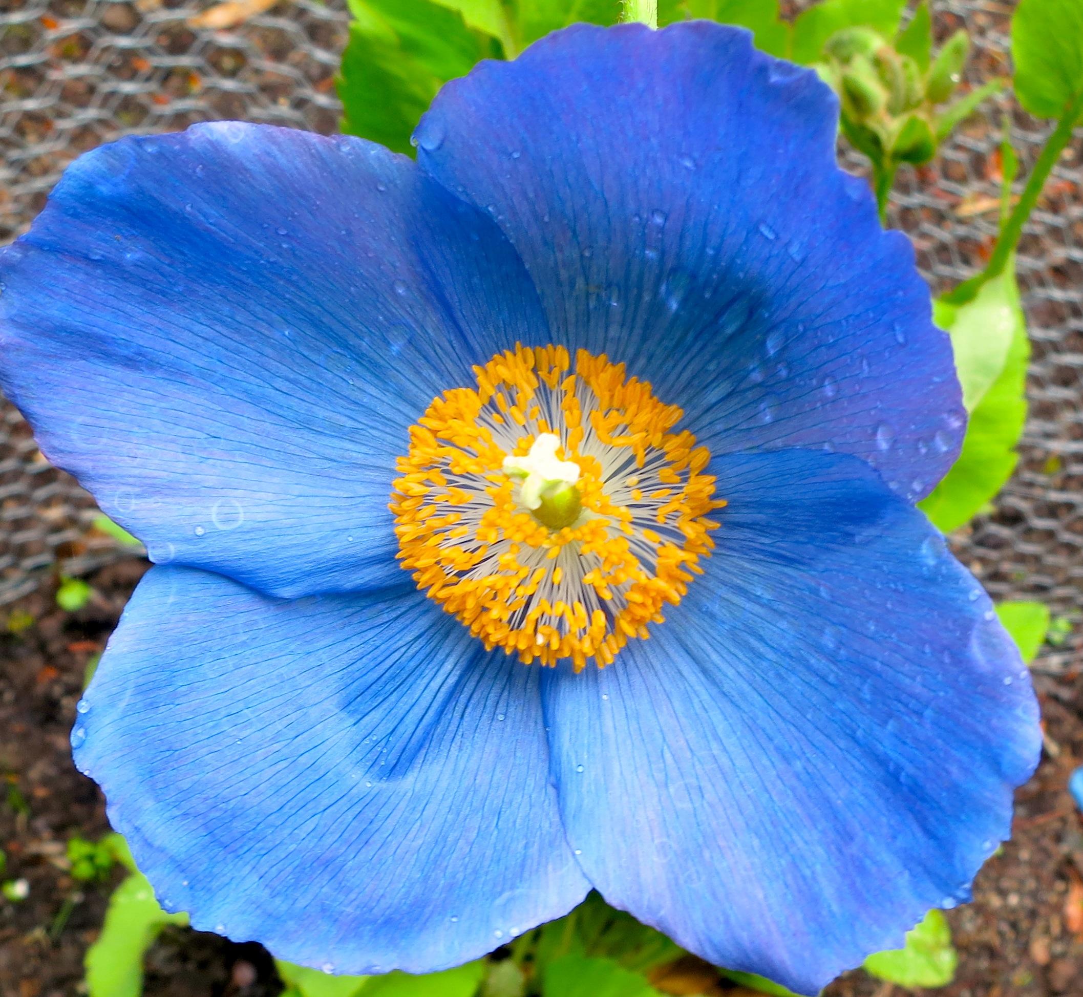 bluepoppy