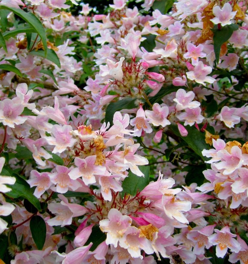 pinkbush