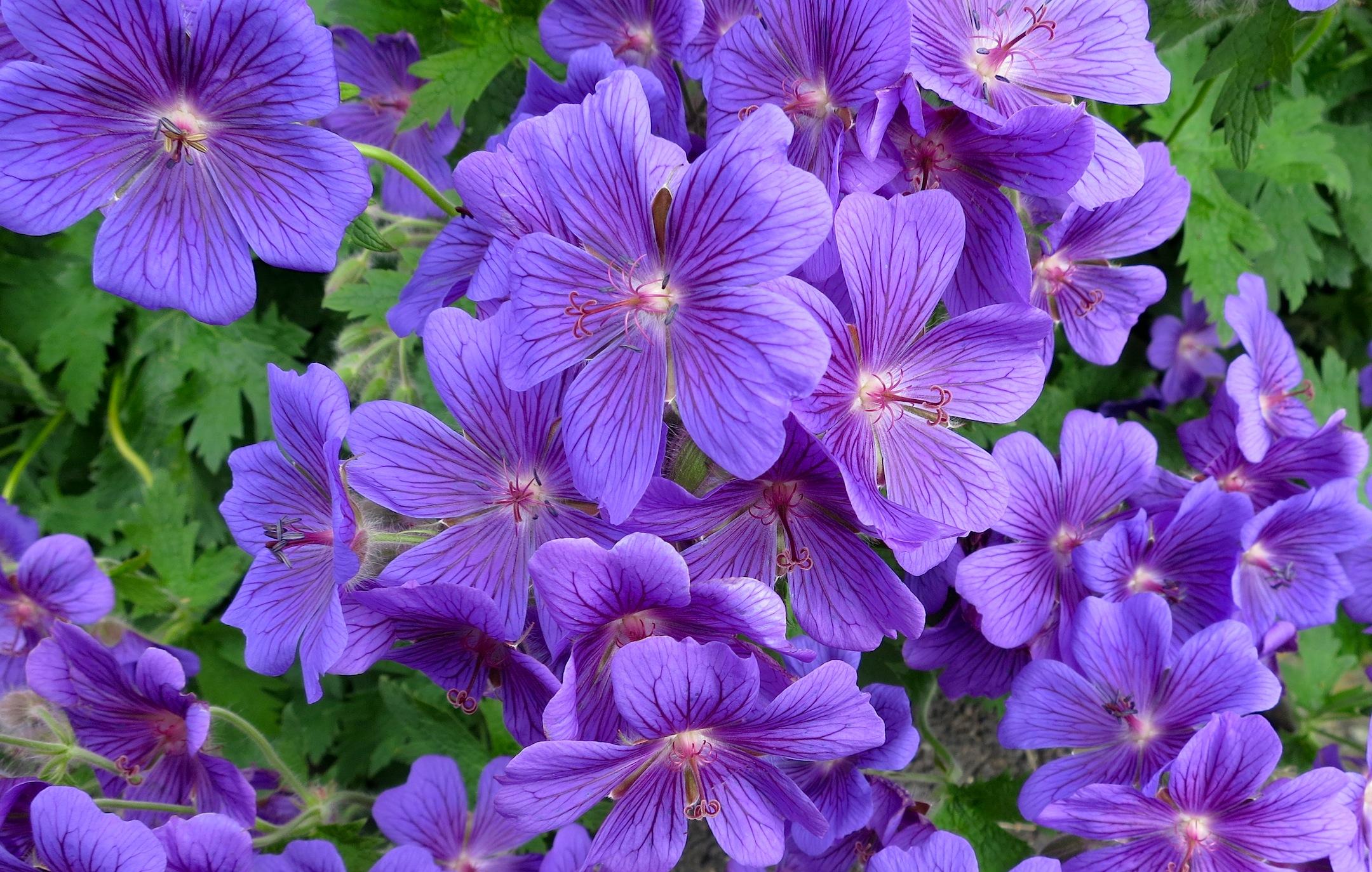 purple geranium is in everyone's garden in Scotland