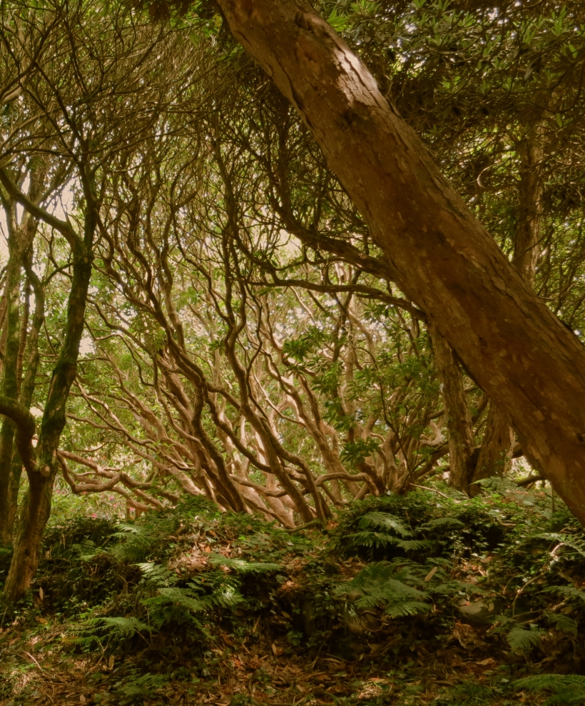 Rhodendron forest Rowallen Gardens, County Down, Ireland