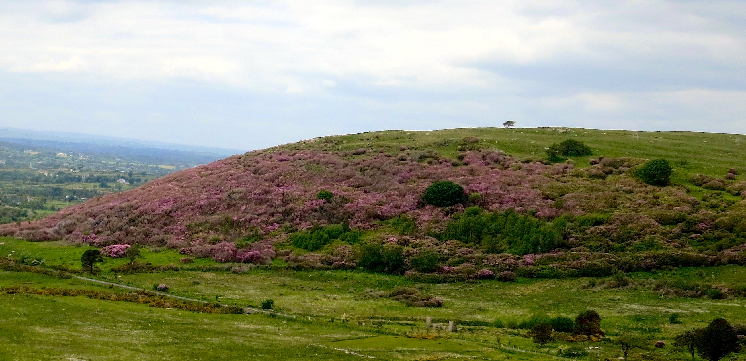Rhododendron forest in the Mourne Mountains of Northern Ireland