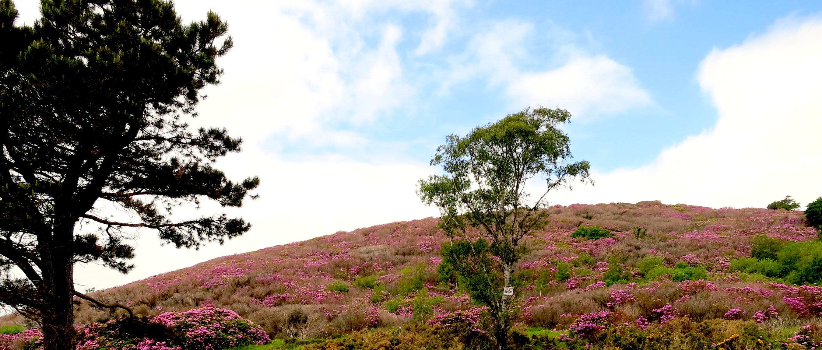 A hillside of rhododendron in the Mourne Mountains, County Down, Ireland