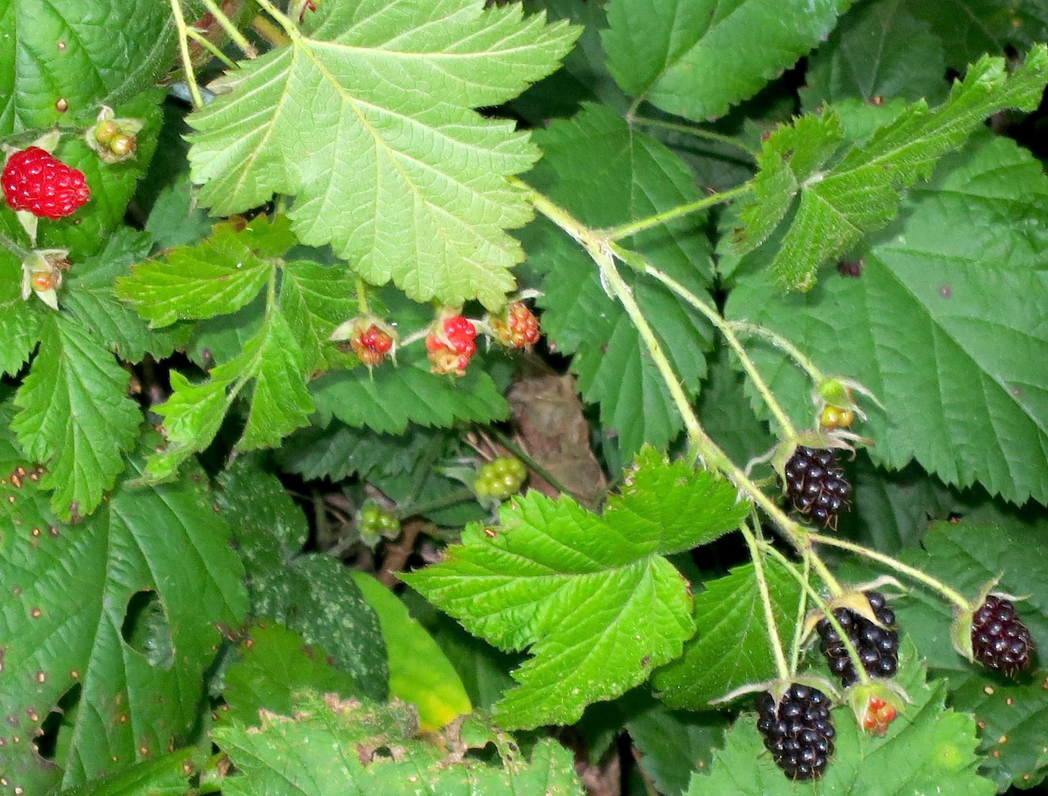 mountainblackberries