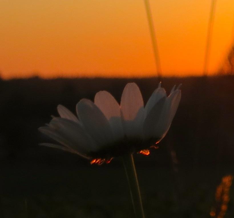 sunsetdaisy