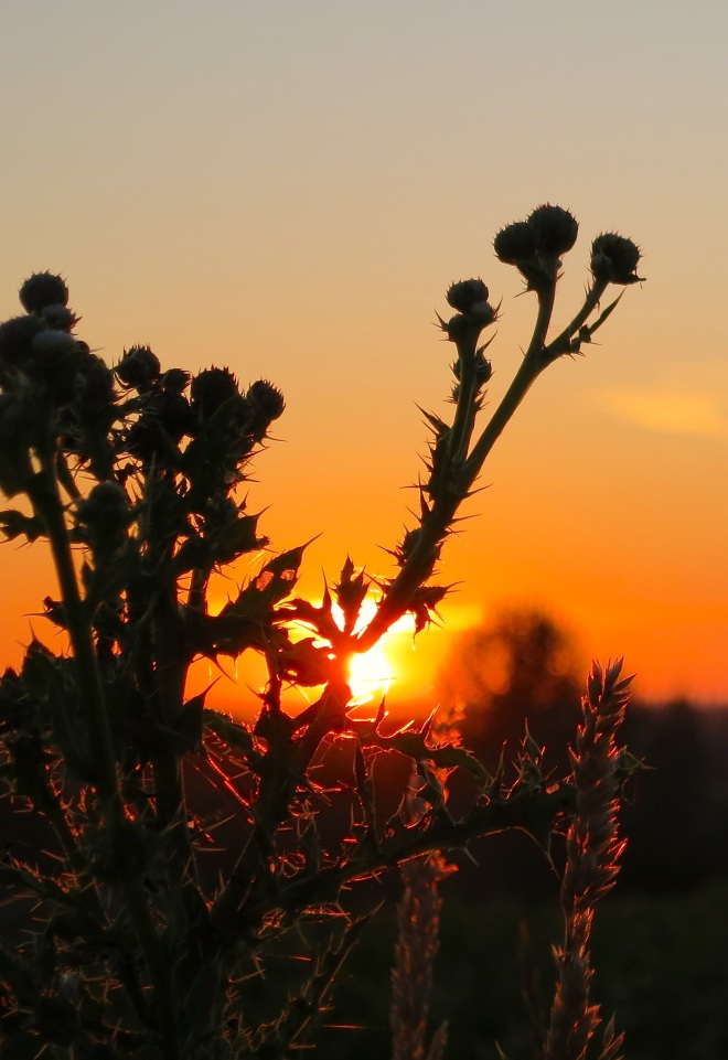 sunsetthistle