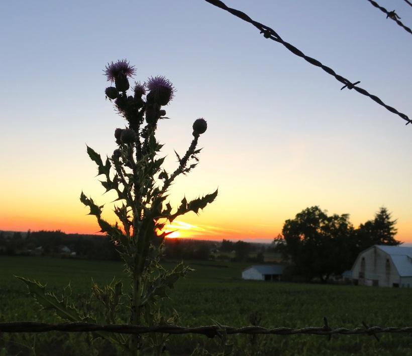 sunsetthistlebarb