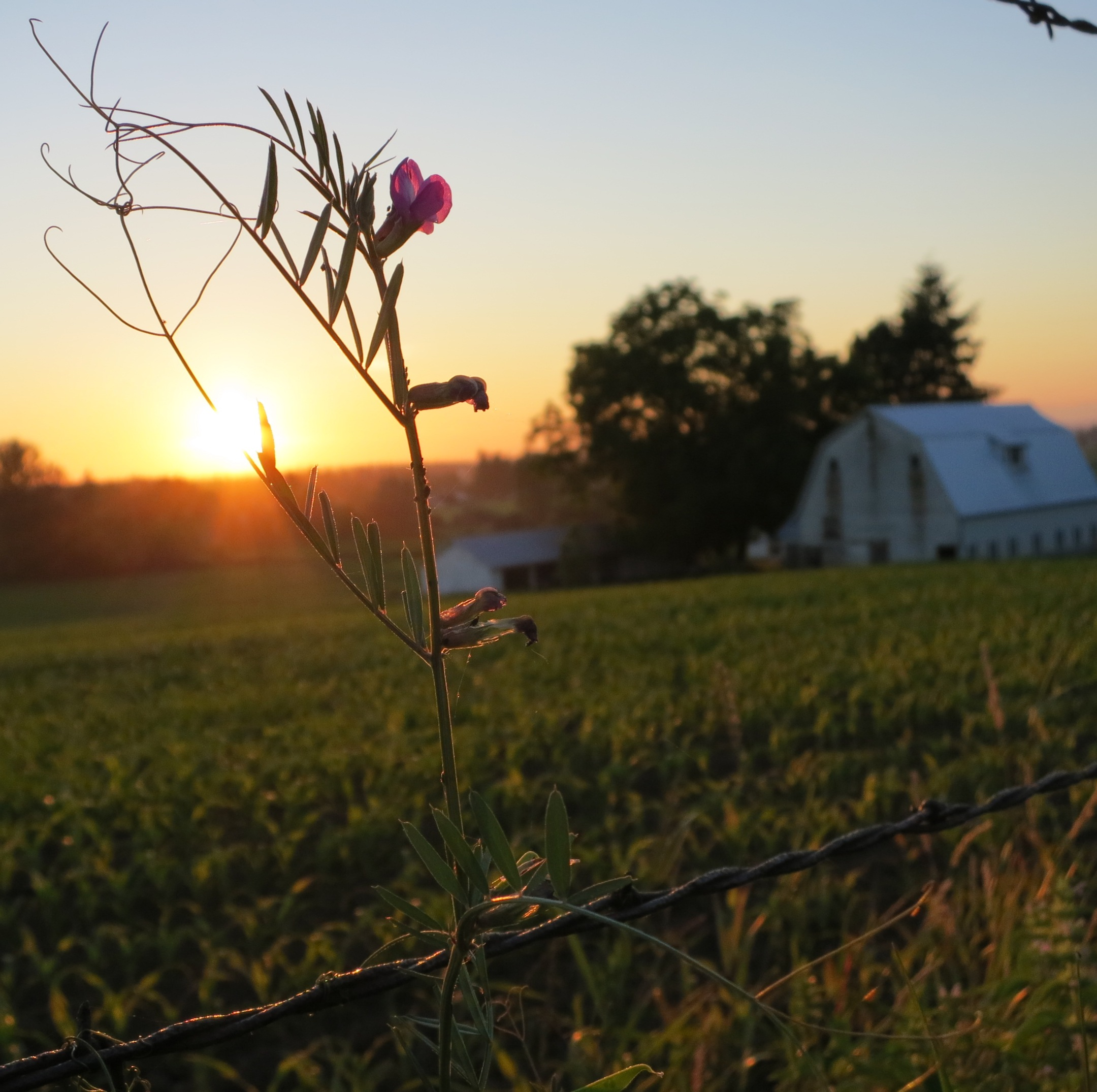 sunsetvetch