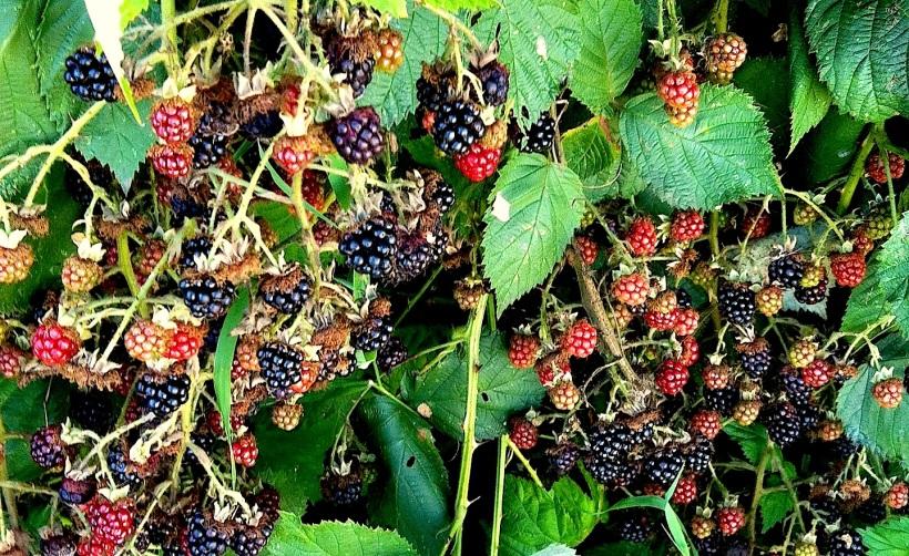 berriesgalore