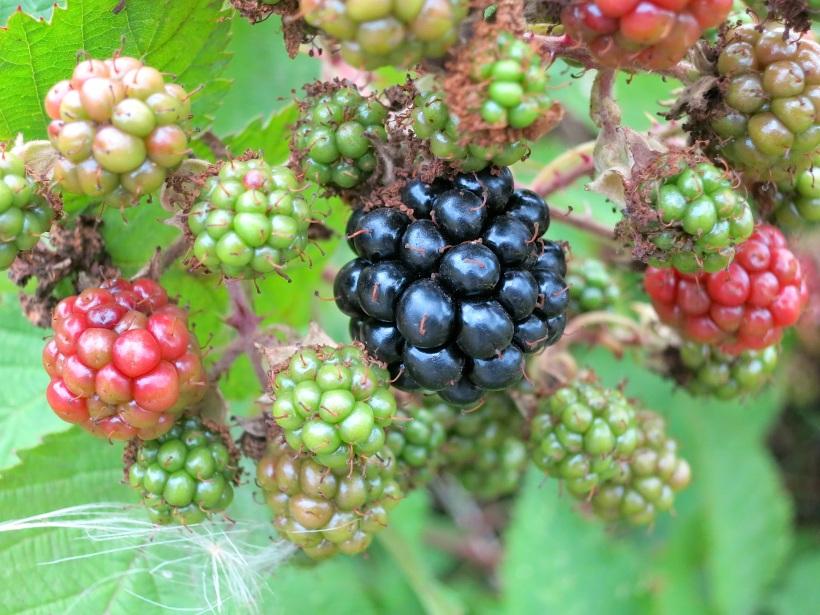 berryblack