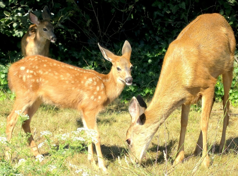 fawns3