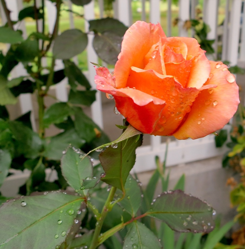 roserain2