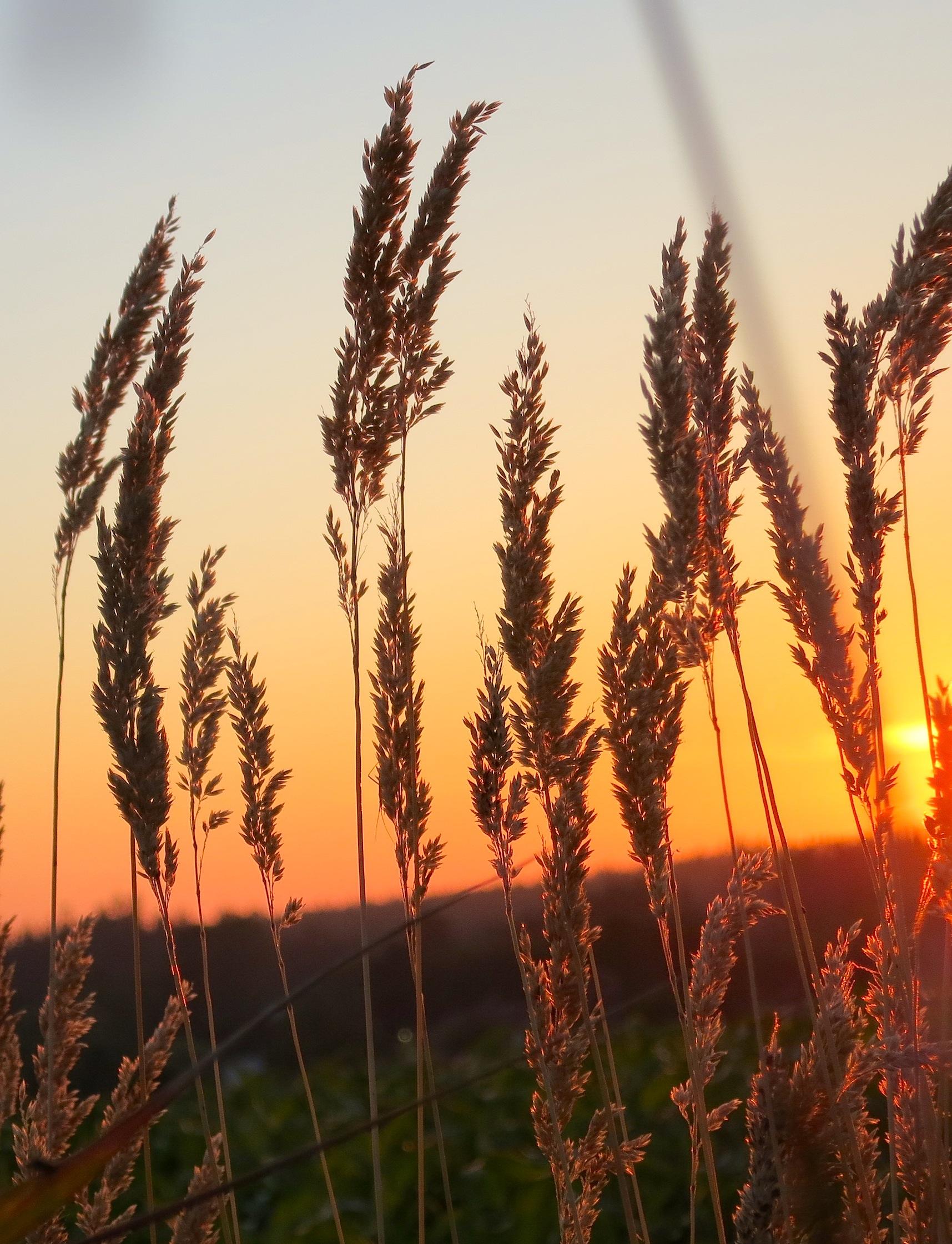 sunsetgrasss