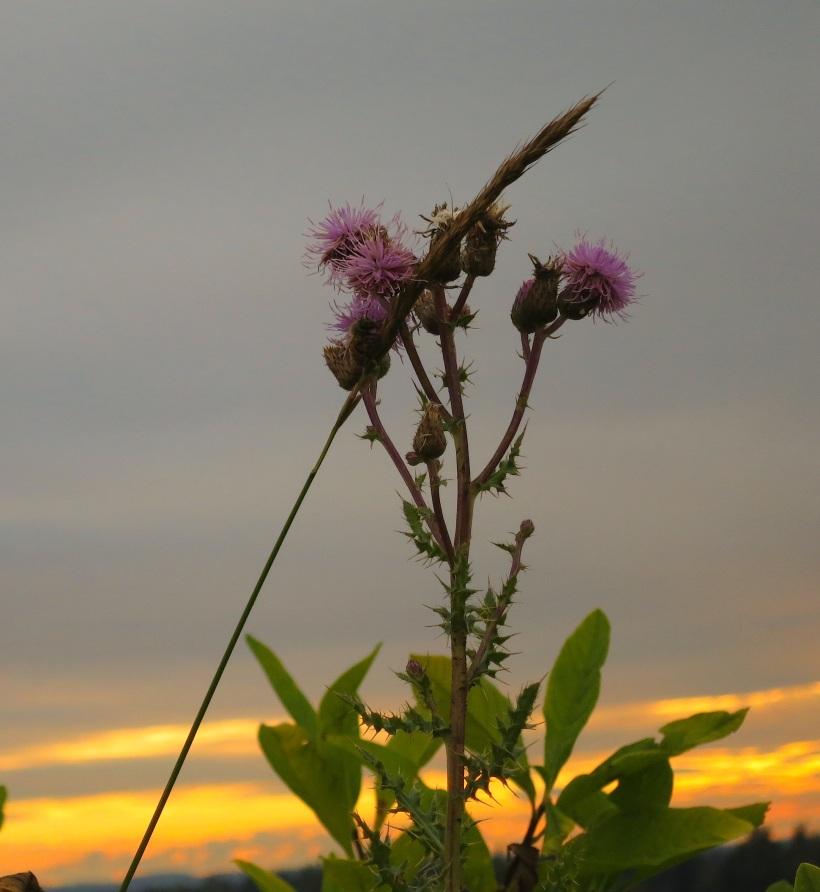 thistlegrass2