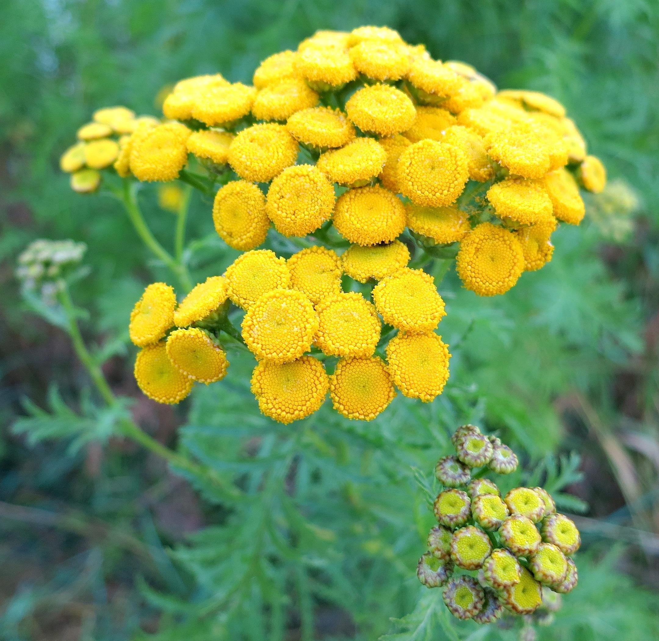 yellowbunch