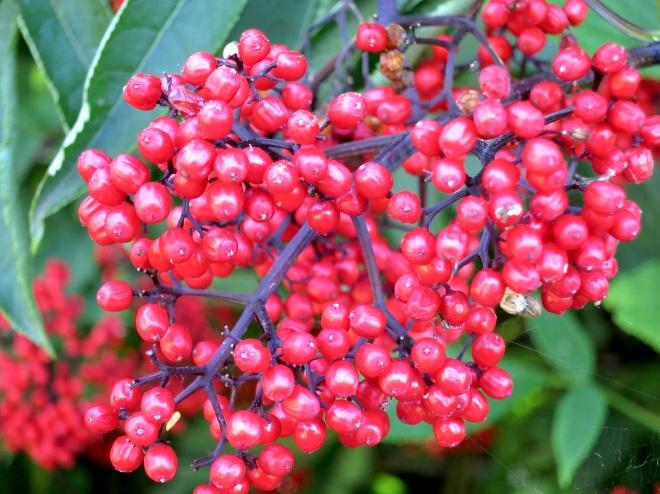 elderberry2