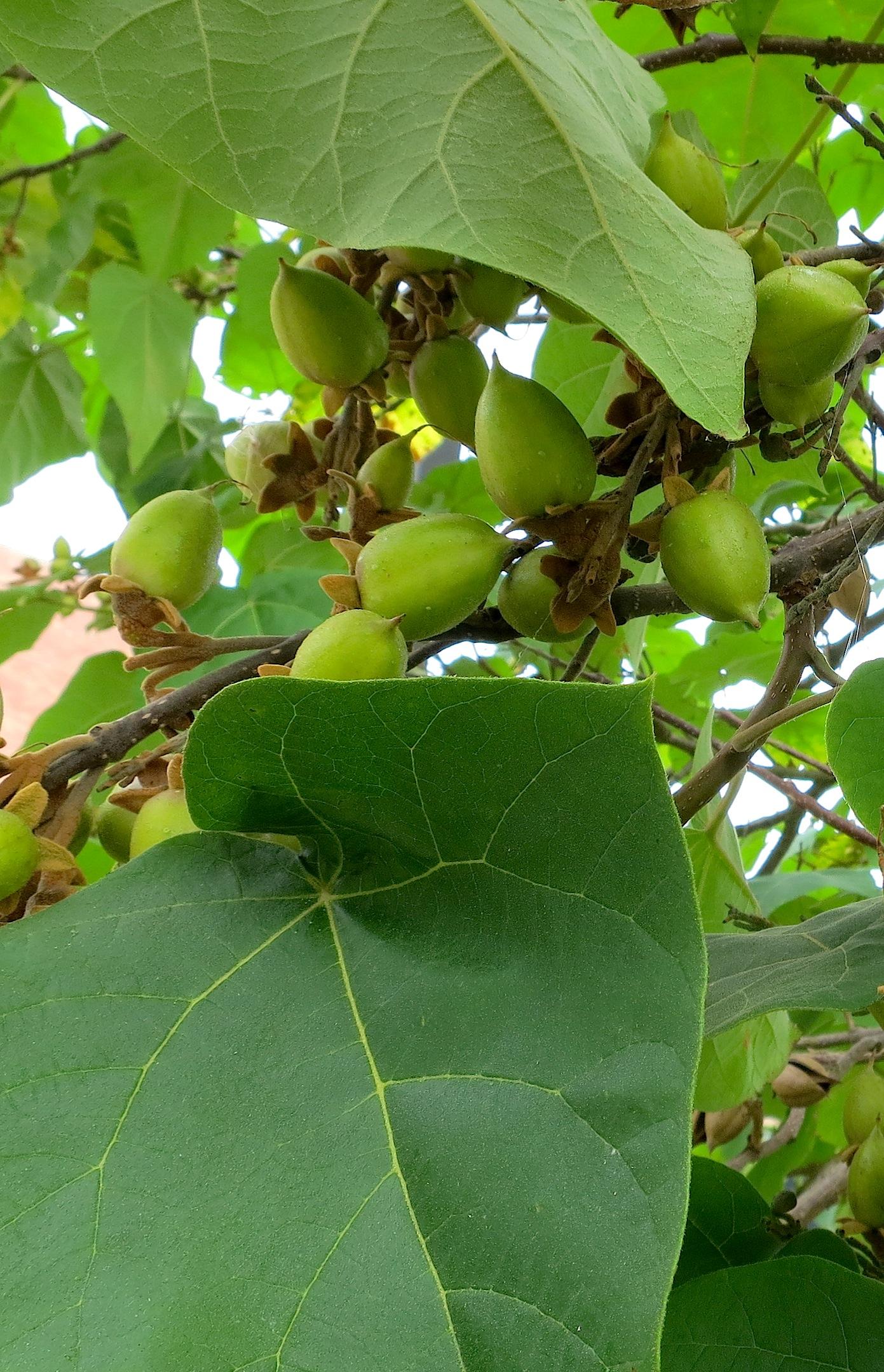 empressfruit