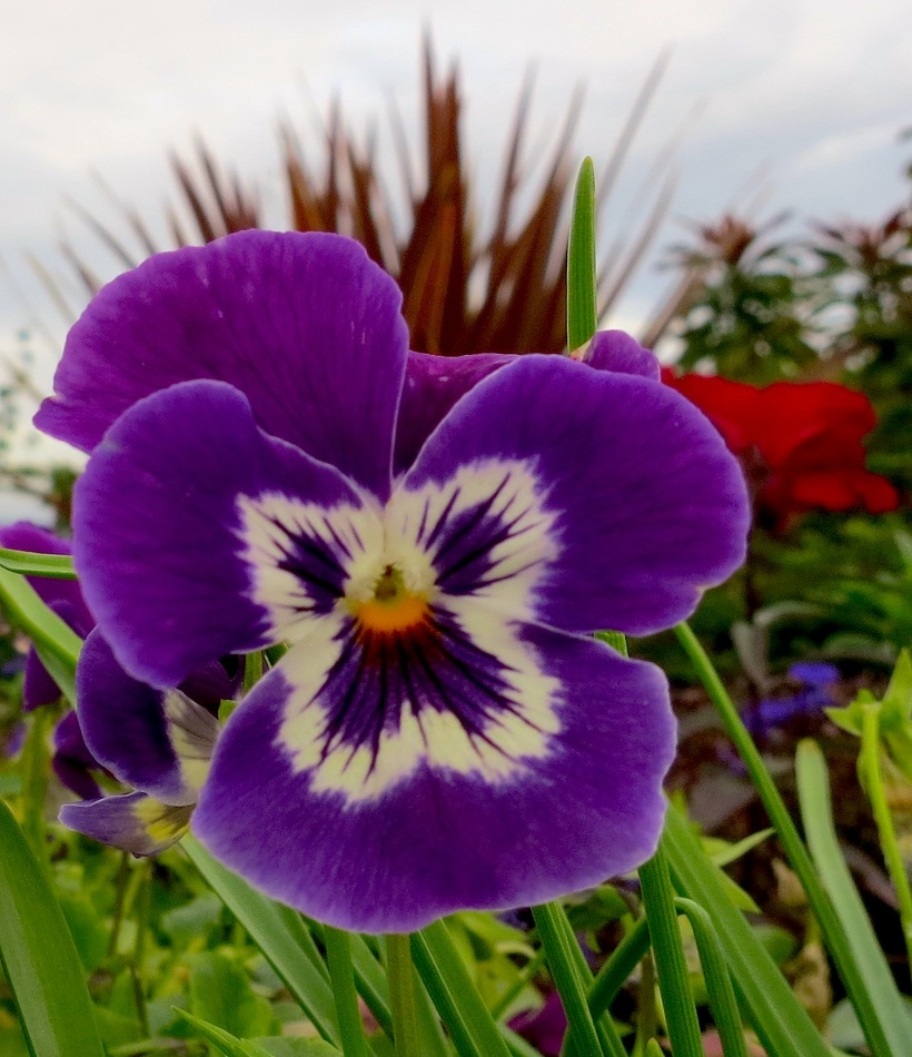 pansy7
