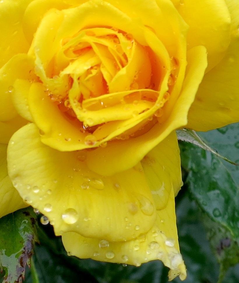 rainyrose