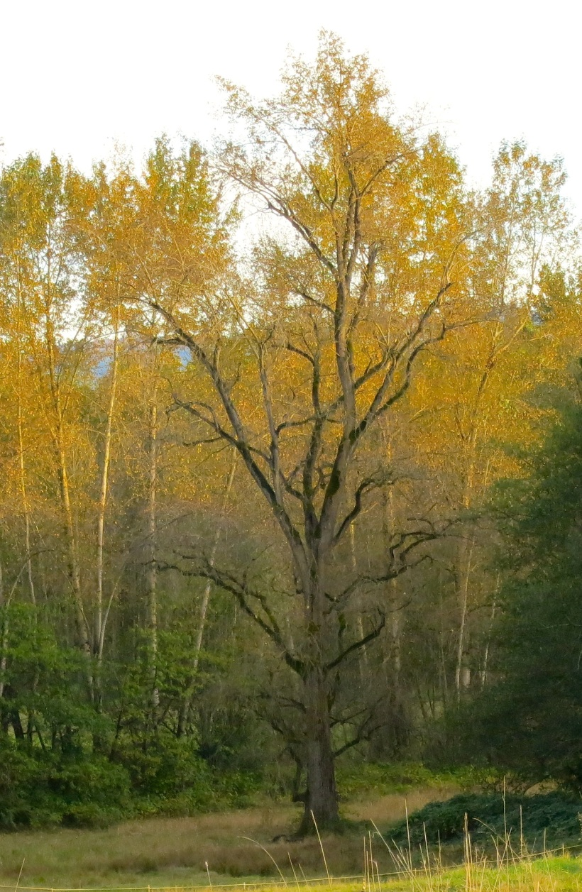 cottonwood3