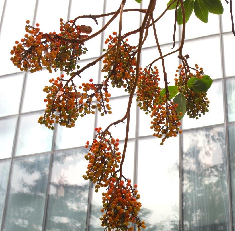 madronaberries