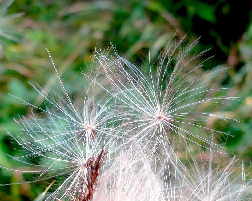 thistlehair