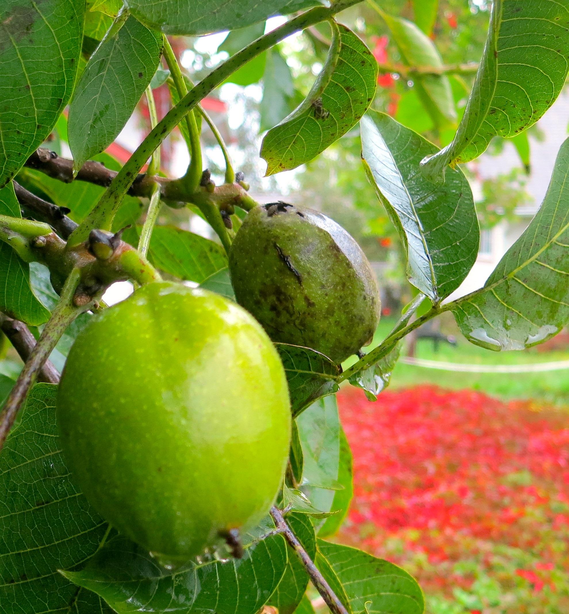 walnutcreeper