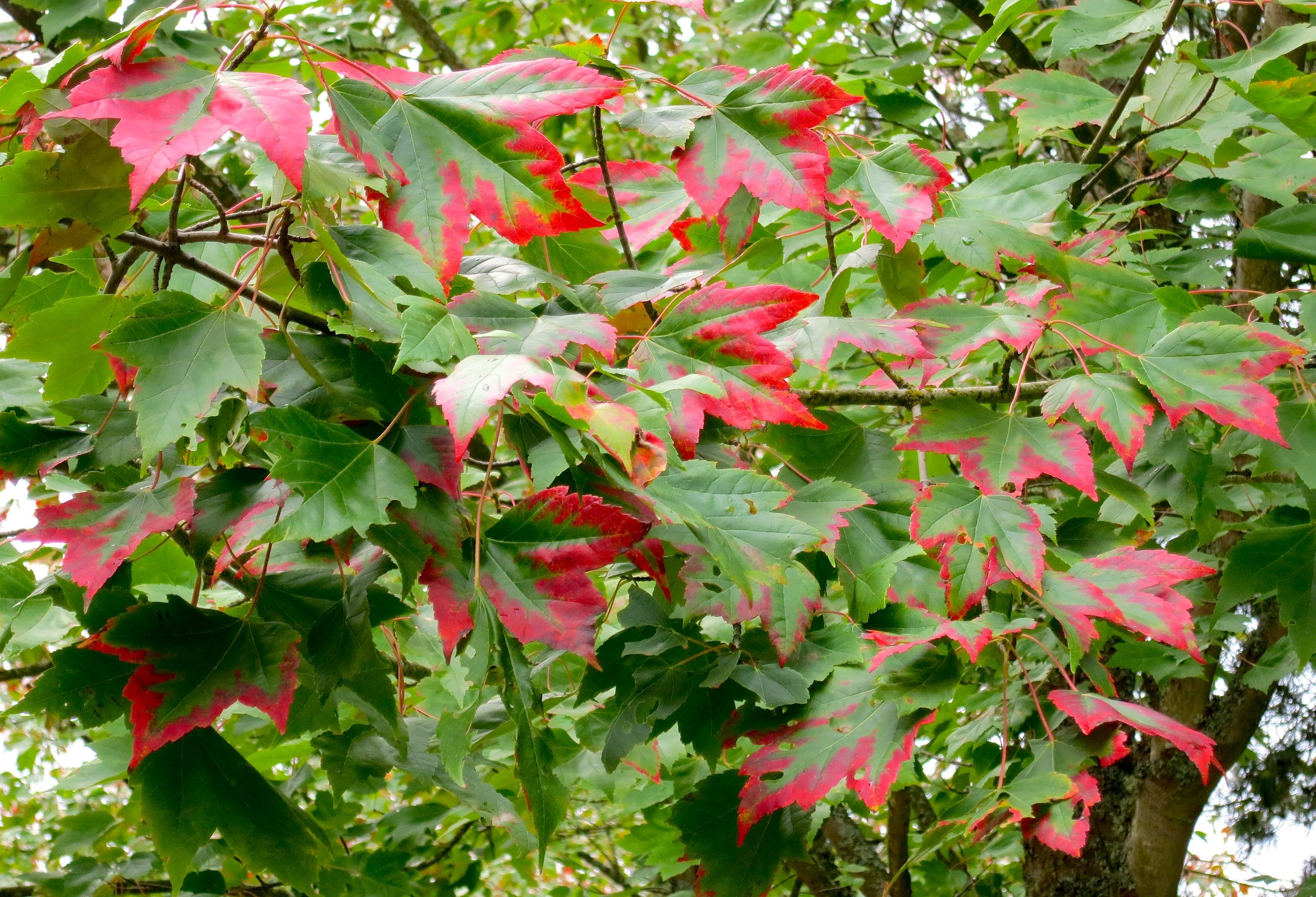 red fringed maple leaf --WWU