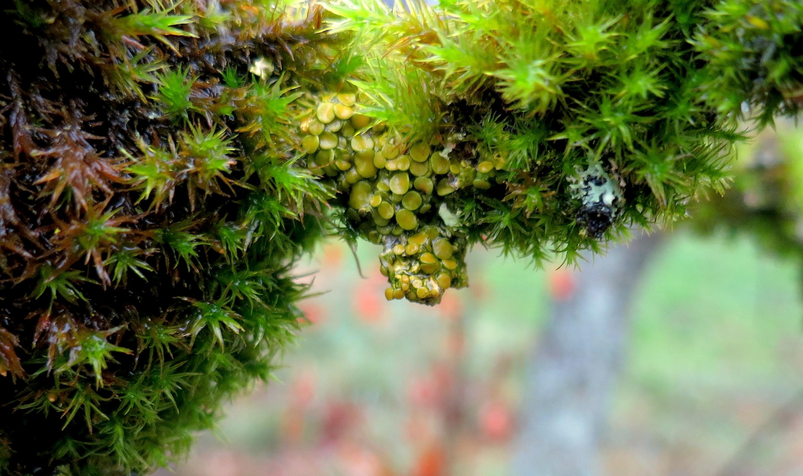 lichen11