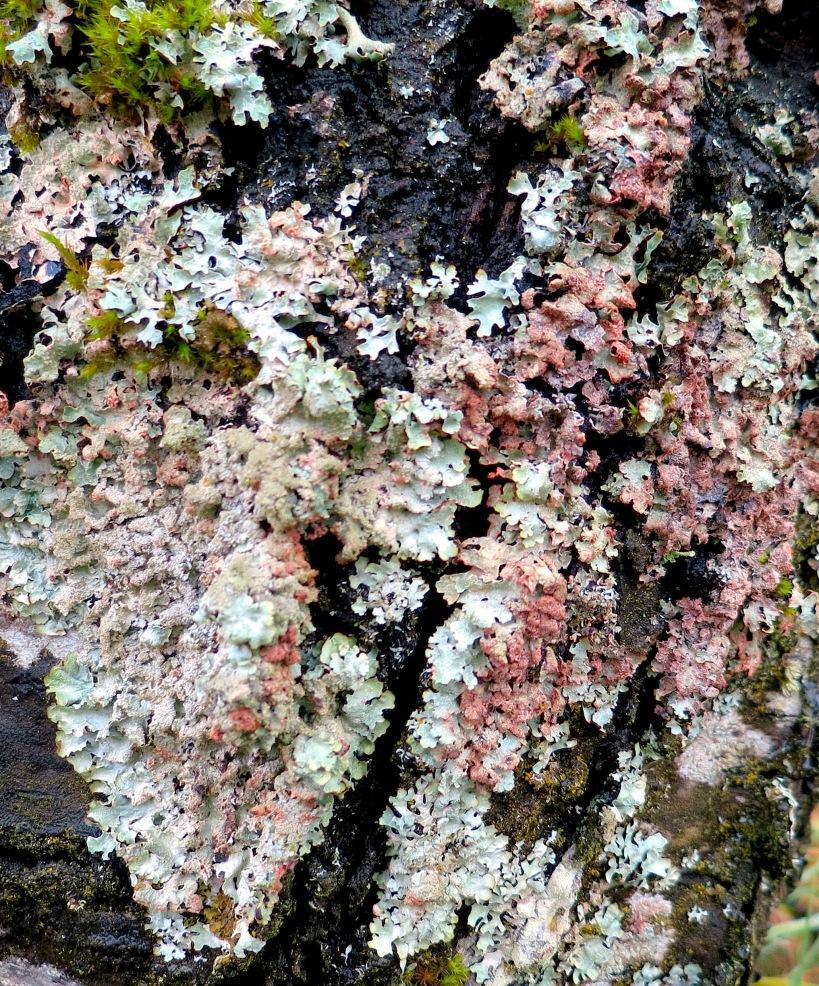 lichen32