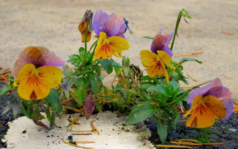 pavementpansies