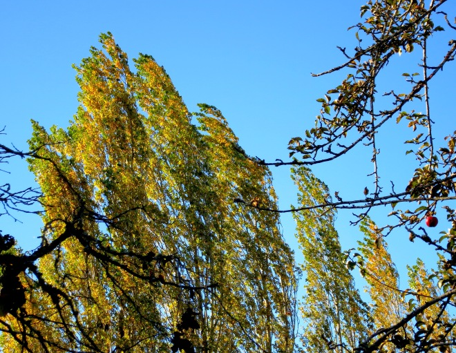 poplarwind