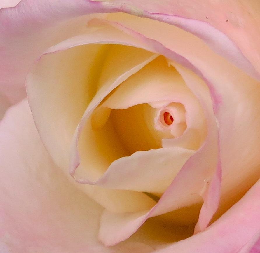 roseinside