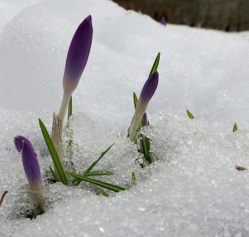 snowcrocus2