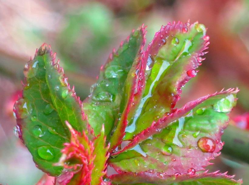 rosebushmarch2