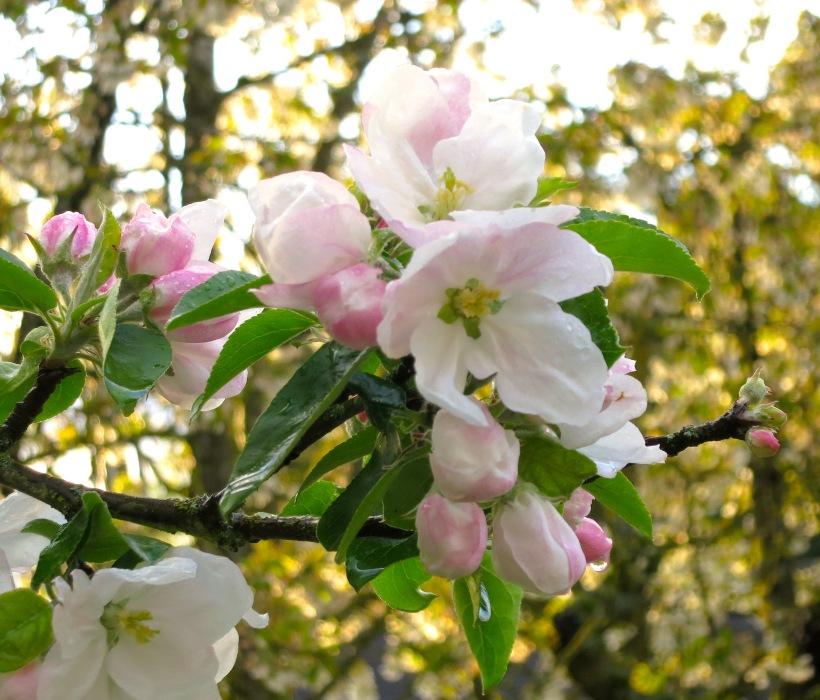 appleblossomrain