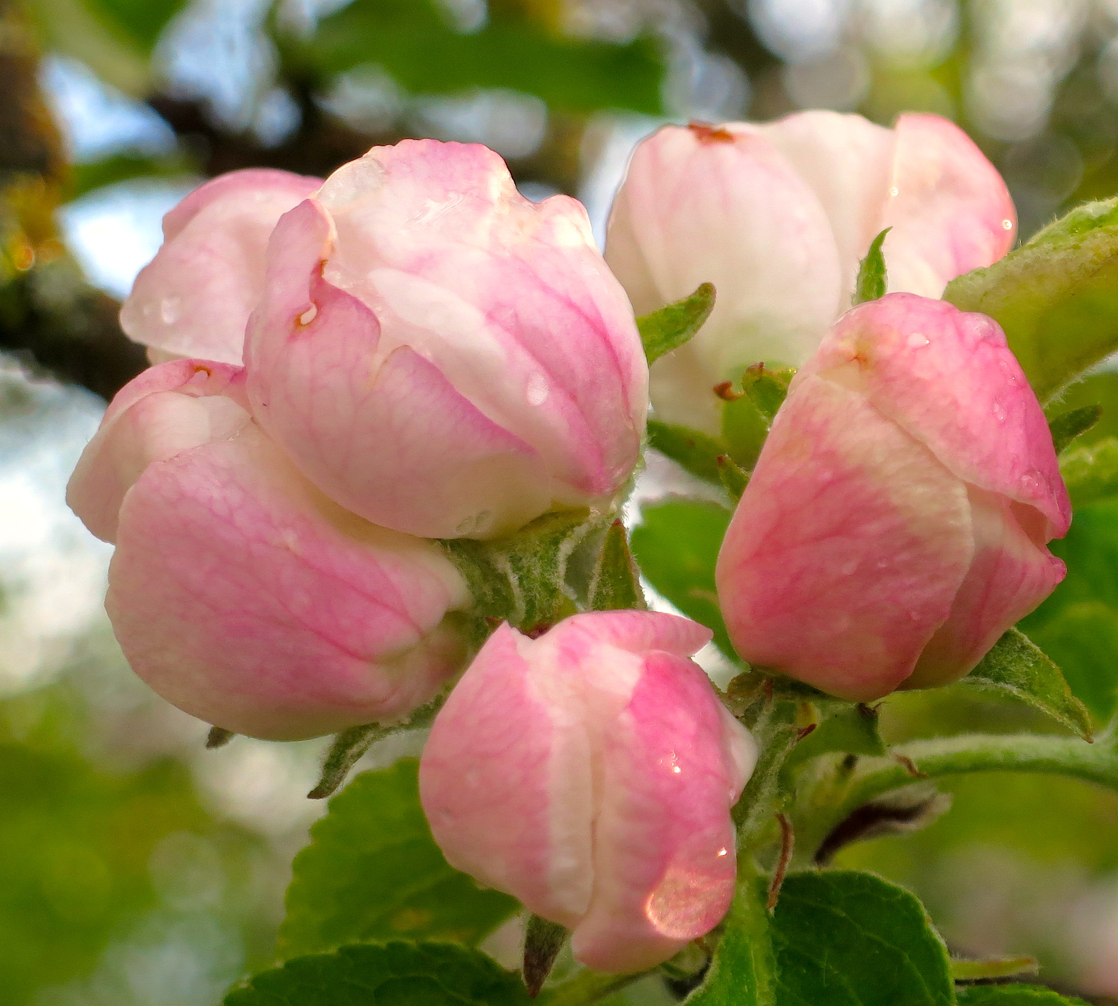 appleblossomrain3