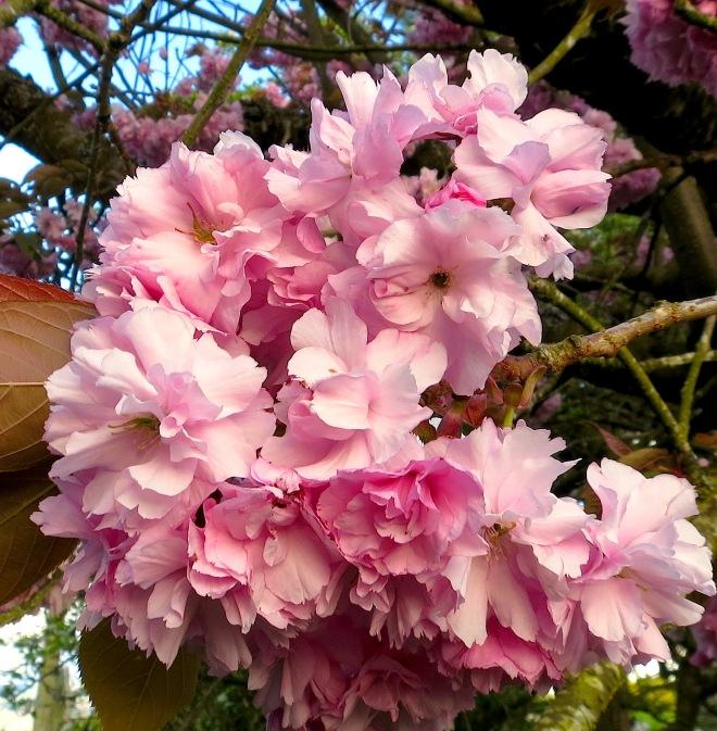 cherryblooms2